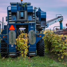 Grape Harvest by Michael Wolfe - Transportation Other ( grapevine, grape harvester, wagon, grape rows, tractor, grape farm,  )