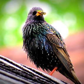 Starling  by Patti Hobbs - Animals Birds ( animals birds starling lunch anyone )
