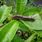 Clipper Butterfly Caterpillar