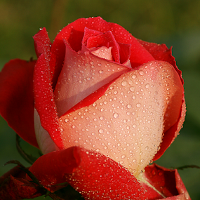 by Bharat Dudeja - Flowers Single Flower ( rose, water drops, nature, flower, droplets )