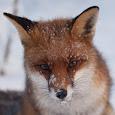 Red Fox Europe