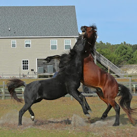 Mustangs at Corolla by Kim Davis - Animals Horses