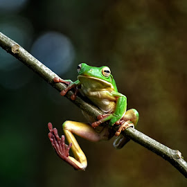 Hanging by Dikky Oesin - Animals Amphibians
