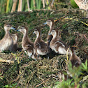 Silver Teal chicks