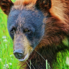 Brown Bear by Peter Murphy - Animals Other ( bear, grass, ears, brown, nose, eyes,  )