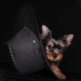 Cowboy girl by Martin Ženíšek - Animals - Dogs Puppies ( cowboy hat, color, puppy, jorkshire terier, dog, black,  )
