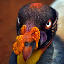 The king vulture by Rubens Campos - Animals Birds ( vulture, urubu rei, vulturre, king )