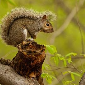 Squirrel by Dan Ferrin - Animals Other Mammals ( animals, nature, wildlife, squirrel, animal )