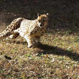 Speed by Dewayne Hayes - Animals Lions, Tigers & Big Cats ( cats, cheetah, big cats, cat )