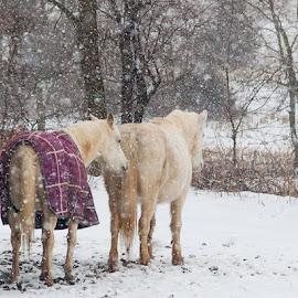 Follow Me by Kim Cochrane - Animals Horses ( wiinter, horses, pair, snow, white,  )