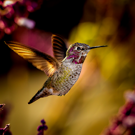Anna's Hummingbird #7 by Ken Wade - Animals Birds ( anna's hummingbird )