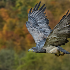 Liberty by Michael Milfeit - Animals Birds ( liberty, aguja-blauadler, bird of prey, raubvogel, blaubussard, raptor, bussard )