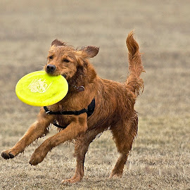 Happy Dog by Kimberly Davidson - Animals - Dogs Running ( retrievers, goldens, golden retriever,  )