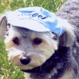 Why??? by Pam Satterfield Manning - Animals - Dogs Portraits ( hats, uncategorized, other, dogs, animals dogs, dog portraits,  )
