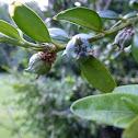 Buchsbaum mit Früchten