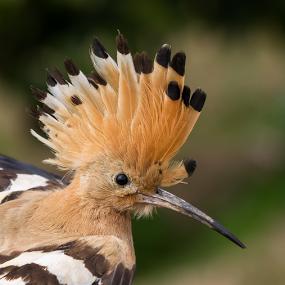 Not need gel !!  by Emanuel Fernandes - Animals Birds ( poupa, bird, portugal )