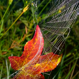 Dream Catcher by Jeannie Love - Landscapes Prairies, Meadows & Fields ( field landscape, fall colors, grass, spider web, autumn leaf, fall, color, colorful, nature )