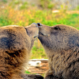 Nose Power! by  J B  - Animals Other Mammals ( smell, bears, nose to nose, grizzly bear )