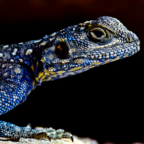 Agama, Tanoma, Saudi Arabia by Mohamed Nasser - Animals Reptiles (  )