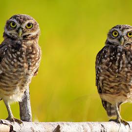Two feet x four eyes!  by Itamar Campos - Animals Birds ( buraqueira, coruja, brazil, owl, burrowing )