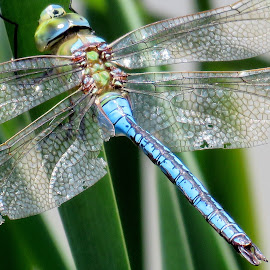 Blue Emperor Dragonfly by Garth Bushell - Nature Up Close Other Natural Objects