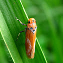 Orange Leafhopper