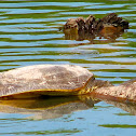 Midland Smooth Softshell Turtle
