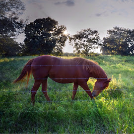Taking A Bow by Mark Ayers-Stebenne - Animals Horses ( photogenic, pasture, silhouette, horse, sun rays )