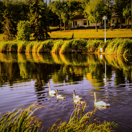 Camrose City Park by Joseph Law - City,  Street & Park  City Parks ( houses, bushes, trees, reflections, mirror lake, city park, camrise, goose )