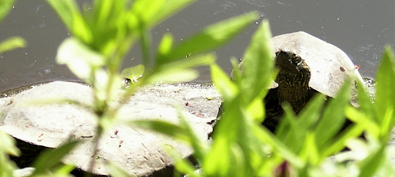turtle peeking