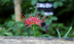 Red flower over a log in Shizen Kyoikuen