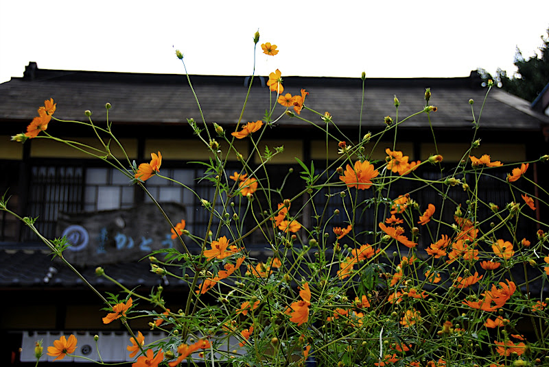 Orange flowers in Kawagoe