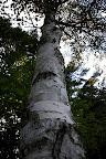 Birch has been my favorite tree since childhood