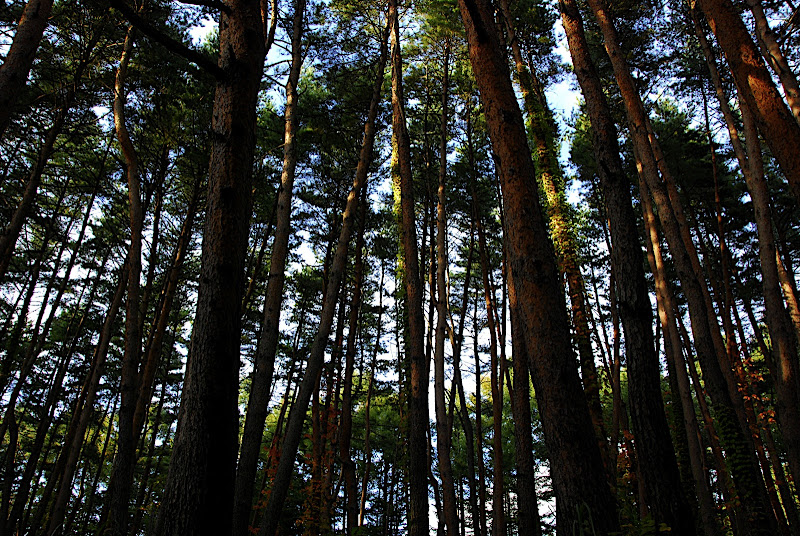 A tall forest of red pines