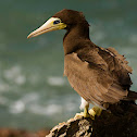 Atobá-pardo or Brown booby