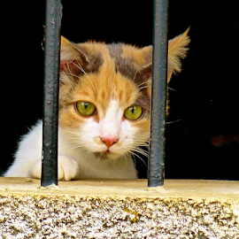 by Laura Payne - Animals - Cats Kittens ( calico, cat, secure, wait, security, tortoiseshell, tortie, paw, feline, perch, black, fright, animal, orange, safe, control, watch, green, white, lean, red, prison, female, brown, whisker, bar, patch,  )