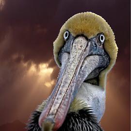 Spooky Pelican by Sandy Scott - Animals Birds ( fishing birds, water birds, brown pelican, birds, pelican,  )