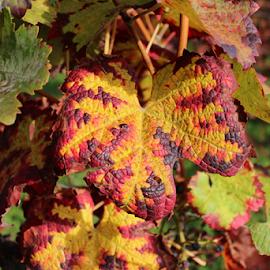 Vine Leaf in the colors of Autumn by Birgit Vorfelder - Nature Up Close Leaves & Grasses ( autumn, colorful, vine, fall, autumn colors, leaf, vine leaf, grape vine, , color, nature )