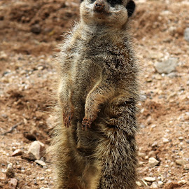 by Simon Fenrir-Rainy - Animals Other Mammals ( meerkat )