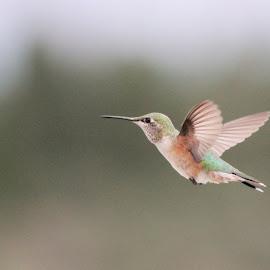 Hummingbird by Bryn Beynon - Animals Birds ( bird, flight, nature, wings, hummingbird, close up )