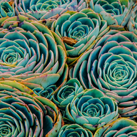 Succulents by Jeanne Knoch - Nature Up Close Other plants (  )