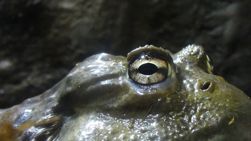 This bullfrog is watching you!
