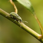 Pale Green Weevil