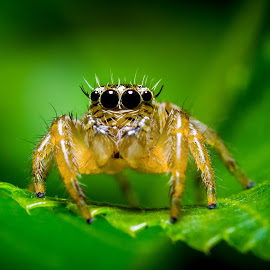 Telamonia sp. by Asrarul Islam - Novices Only Macro ( canon, macro, reverse, 50mm, spider )