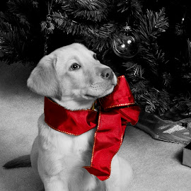 Christmas Puppy by George Holt - Animals - Dogs Portraits ( labrador retriever, red, selective color, christmas tree, bow, dog, lab, golden, pwc )