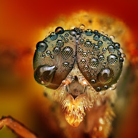 Cardinal by Ondrej Pakan - Animals Insects & Spiders ( macro, fly, dew, dew drops, insect, robberfly )