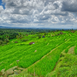 Rice Fields by Ferdinand Ludo - Landscapes Prairies, Meadows & Fields ( bali, indonesia )
