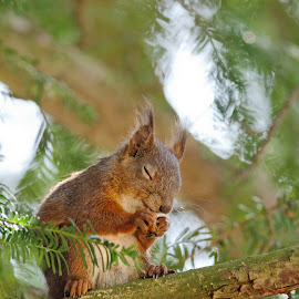 Little prayer by Cédric Guere - Animals Other ( wild, red, nature, wildlife, squirrel, animal )
