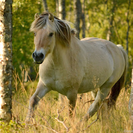 Norwegian Fjord by Kristin Smestad - Animals Horses ( equine, horse, fjordhorse, fjording, norwegian fjord horse,  )
