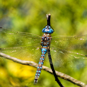 Dragonfly by Cristobal Garciaferro Rubio - Animals Insects & Spiders